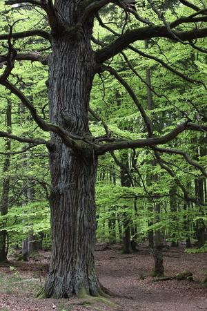 Oude Eik in Reinhardswald National Park Germany