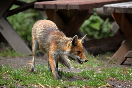 rabies: The Red Fox Stock Photo