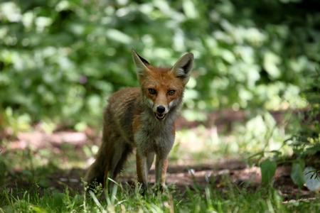 vixen: The Red Fox Stock Photo