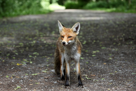red fox: The Red Fox Stock Photo