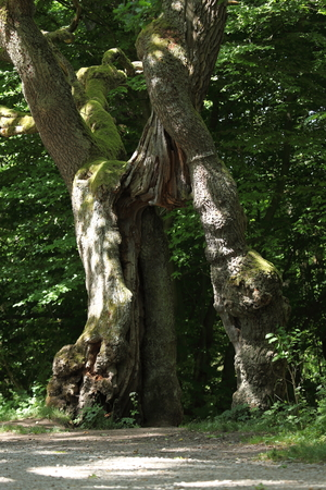 begging: The Old Begging Oak in the Nationalpark Hainich in Germany