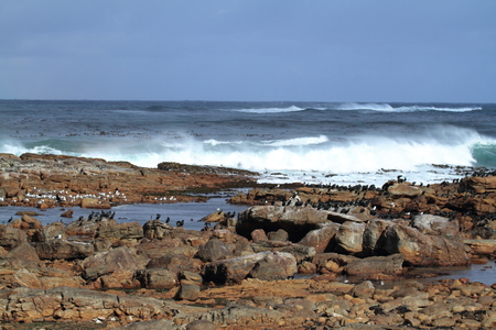 cape of good hope: Cormorants at the Coast of Cape of Good Hope
