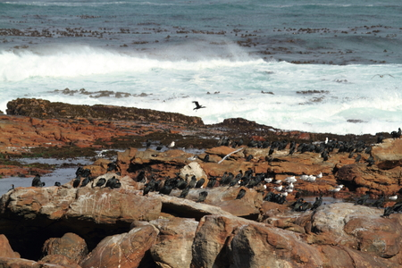 cormorants: Cormorants at the Coast of Cape of Good Hope