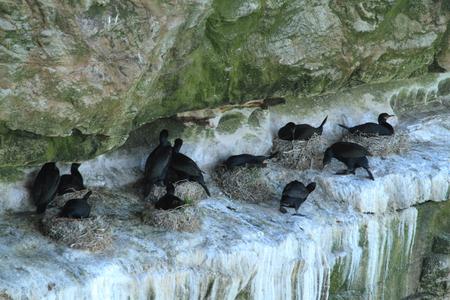 cormorant: Cormorant Colony are Breeding