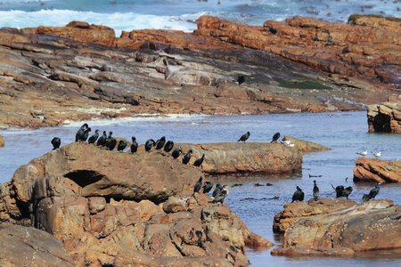 cormorants: Cormorants at the Coast of Kap of Good Hope Stock Photo