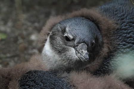 south african birds: Penguins in South Africa