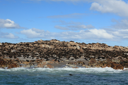 colony: Sea lion colony at Cape Town in South Africa
