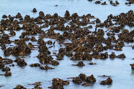 algas marinas: Alga Foto de archivo