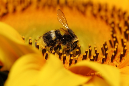 industrious: Bumblebee