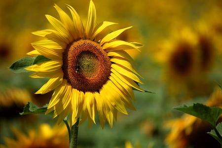 helianthus annuus: Sunflowers