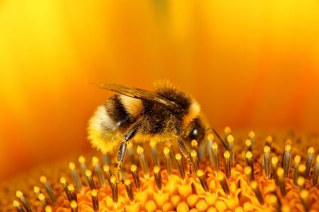 industrious: Bumblebees Stock Photo