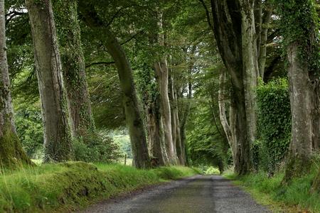 Alley of trees in Ireland Standard-Bild