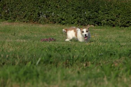 jack russell terrier: Jack Russell Terrier Stock Photo