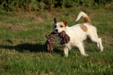 Jack Russell Terrier Фото со стока