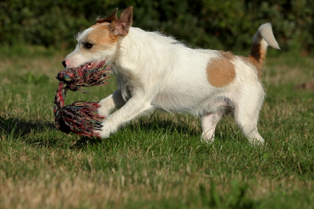 jack russell: Jack Russell Terrier Stock Photo
