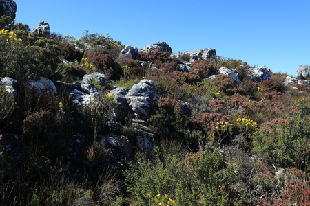 plateau of flowers: Table Mountain near Cape Town in South Africa