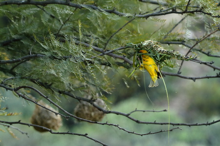 weaver bird nest: Billed Weaver