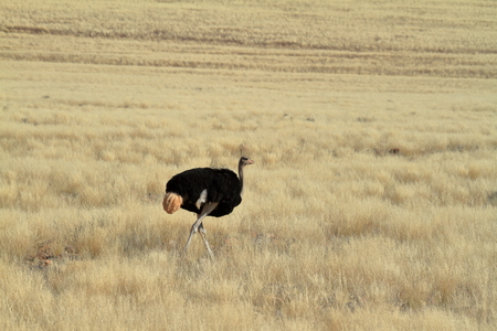 flightless bird: The African ostrich in the savannah of Namibia Stock Photo