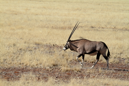 oryx: Oryx antelope in the savannah of Namibia