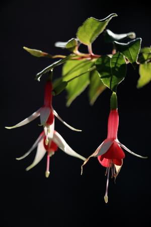 fuchsias: Fuchsias in backlight