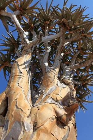dichotoma: Quiver Tree in Namibia