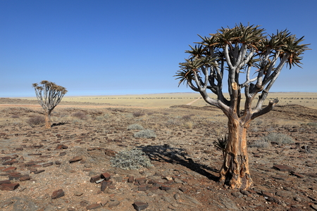 desertification: quiver Tree in Namibia