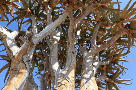 quiver: Quiver Tree in Namibia