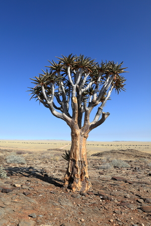desertification: Quiver trees in Namibia
