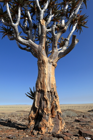 dichotoma: Quiver trees in Namibia
