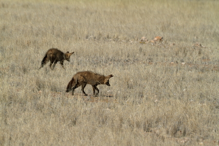 eared: Bat eared fox in the savannah of Namibia Stock Photo