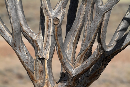 quiver: Quiver trees in Namibia