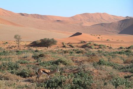 springbok: Springbok in Namibia