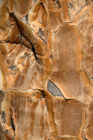 dichotoma: Bark from the quiver tree