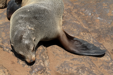colony: Seal colony at Cape Cross in Namibia