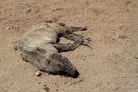 cadaver: Dead seal on beach
