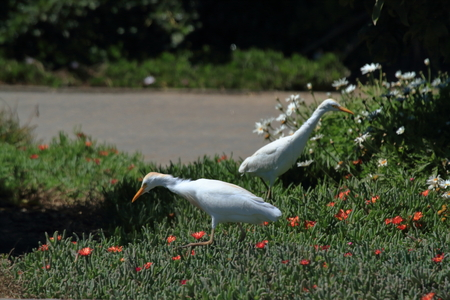 egrets: Egrets while hunting for insects