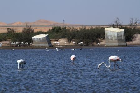 swakopmund: Flamingos at Swakopmund in Namibia