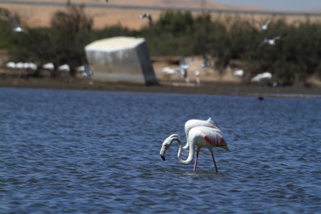 birds desert: Flamingos at Swakopmund in Namibia