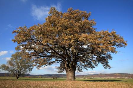 arbol roble: Old oak tree in golden autumn Foto de archivo