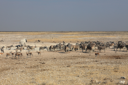 at waterhole: Vida Silvestre en el abrevadero en el Parque Etosha, en Namibia