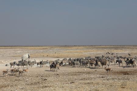 pozo de agua: Vida Silvestre en el abrevadero en el Parque Etosha, en Namibia