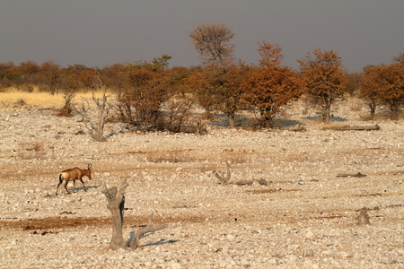herbivores: Hartebeest in Etosha National Park in Namibia