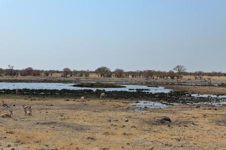 waterhole: Animales en una charca en el Parque Etosha, en Namibia