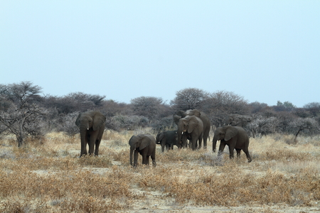pachyderm: Elephants in the Etosha National Park in Namibia