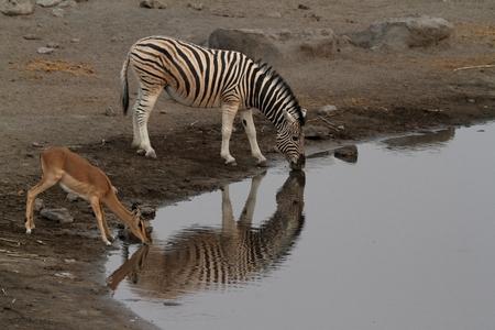 pozo de agua: Animales en una charca en el Parque Etosha, en Namibia