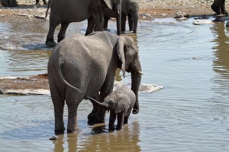 pozo de agua: Los elefantes en el Parque Nacional de Etosha en Namibia