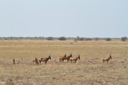 herbivore: Hartebeest in Etosha National Park in Namibia