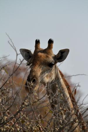 savannah: Giraffes in the savannah of Namibia