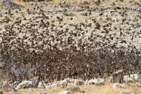 weaver: Swarms of weaver birds in Namibia