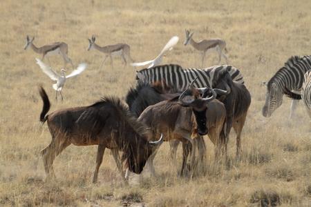 herbivores: Wildebeest in the savannah of the Etosha Park in Namibia